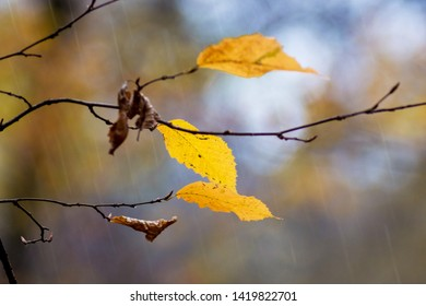 A branch of a hornbeam with the last yellow leaves during rain in the woods