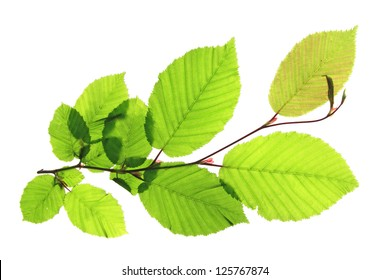 Branch of a hornbeam tree (Carpinus betulus) isolated in front of white background