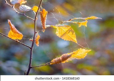 A branch of a hornbeam with yellow, dry leaves in sunny weather