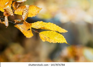 A branch of a hornbeam with yellow leaves in the autumn forest in pleasant warm yellow-brown tones