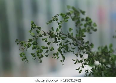 Branch of houseplant Adiantum capillus-veneris, with little green leafs floating. Maidenhair fern, venus hair fern. Close up shot, shallow depth of field, natural light.