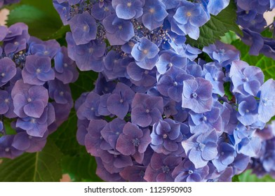 branch hydrangea with lilac flowers