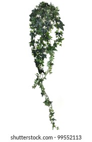 Branch of ivy on a white background