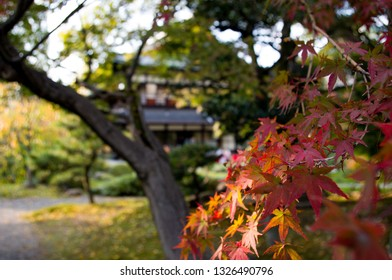 Branch of a Japanese momiji maple tree with bright red autumn leaves in traditional Japanese garden in Kyoto, Japan
