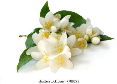 branch of jasmin