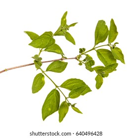 Branch of a jasmine bush with green leaves. Isolated on white background
