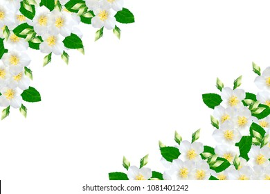 branch of jasmine flowers isolated on white background.