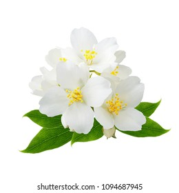 Branch of jasmine flowers isolated on white background as package design element