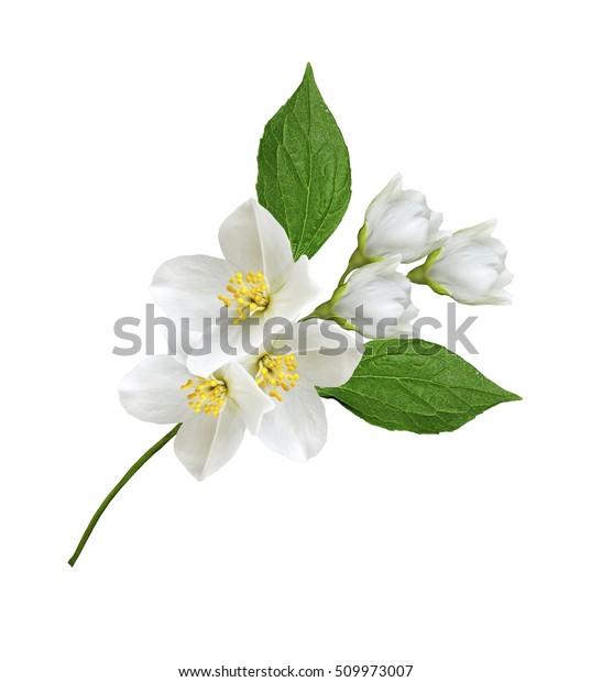 ветка цветов жасмина, выделенная на белом фоне
