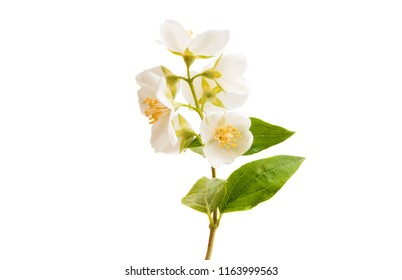branch of jasmine isolated on white background