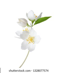 Branch of  Jasmine's (Philadelphus) flowers isolated on white background.