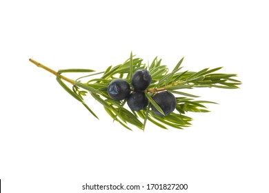 branch with juniper berries isolated on white background