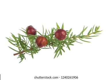 branch of juniper with red berries isolated. red berries of juniper on branch isolated on white background