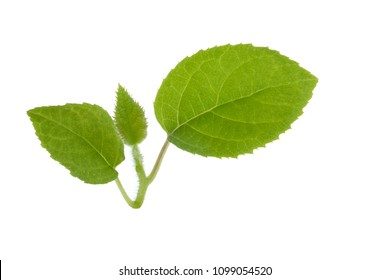 branch of kiwi leaves isolated on white background