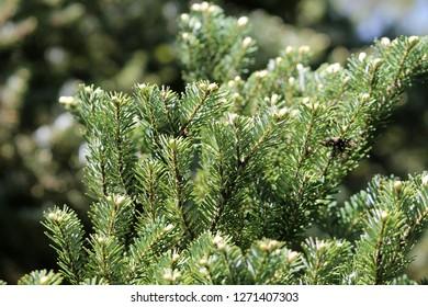 Branch of Korean fir or Abies koreana with green needles