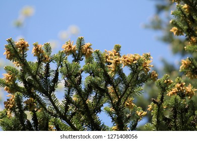 Branch of Korean fir or Abies koreana with green needles and male cones