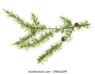 The branch of larch cones isolated on white background.
