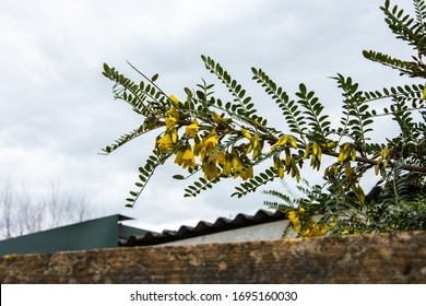 A branch of a Large Leave Kowhai plant  Sophora tetraptera, showing leaves and yellow flowers in spring UK
