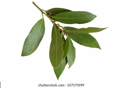 A branch of laurel isolated on white background. Fresh bay leaves. Branch of green laurel leaves.