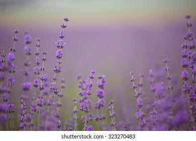 Branch of lavender flowers soft macro capture