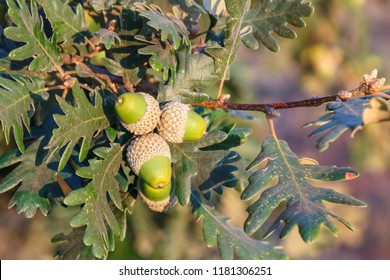 Branch with leaves and acorns of pyrenean oak. Quercus pyrenaica.