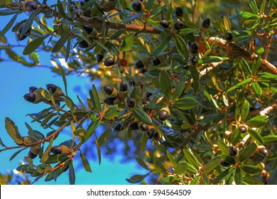 Branch with leaves and acorns of Quercus virginiana, also known as the southern live oak