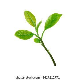 branch of leaves of avocado isolated on white background