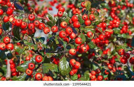 Branch with leaves and hawthorn berries