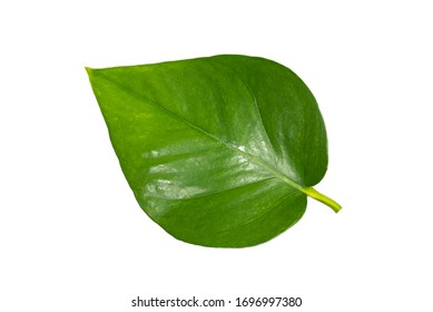 Branch with leaves isolated on white background,clipping path.