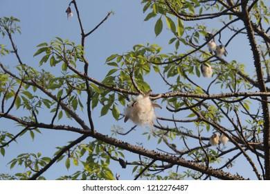 Branch with leaves and ripe fruit of kapok tree (Ceiba pentandra)