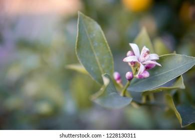 Branch of a lemon tree with blossom on a lemon tree.