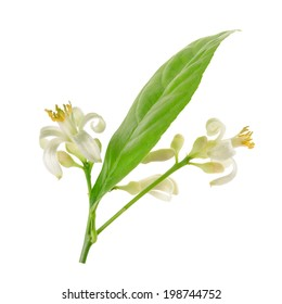 Branch of a lemon tree with flowers Isolated on a white background