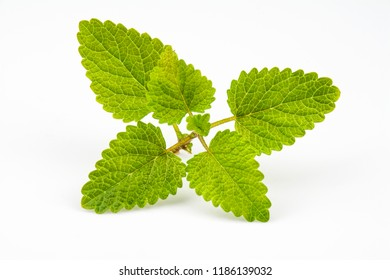 Branch with light green leaves of the medicinal plant melissa.