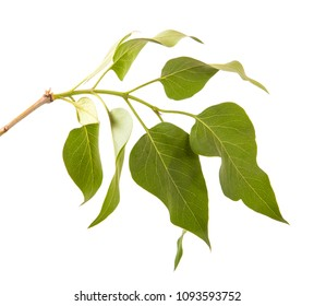 branch of a lilac bush with green leaves. Isolated on white background