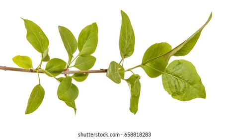 A branch of a lilac bush. Isolated on white background