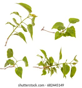 A branch of a lilac bush with young green leaves. Isolated on white background. Set