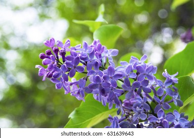 A branch of lilac in the spring