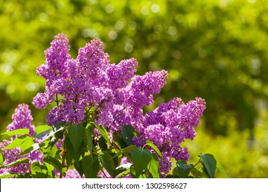 branch of lilac spring morning on a background of green leaves - Syringa vulgaris