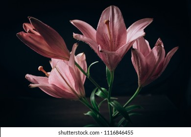 a branch of a lily in the rays of light on a black background. gentle pink flower. the outlines of a flower on an atmospheric dark photo. flowers for a holiday, advertising, gift