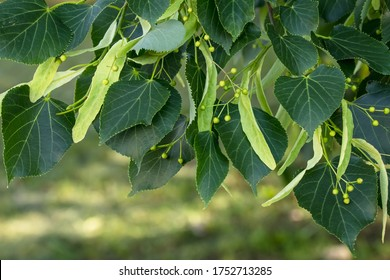 A branch of lime tree. Green leaves of a linden tree. Tilia americana. Texture, nature background. Botany pattern.