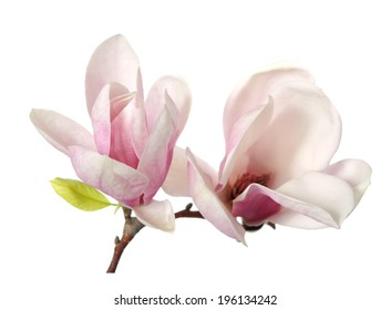 a branch of magnolia flower isolated on white
