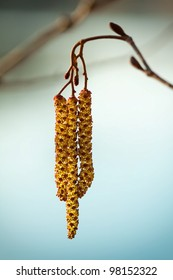 Branch with male catkins  - macro