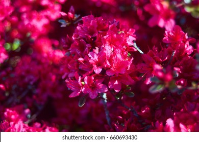 Branch with many small pink blossoms and more pink structure in the blurry background