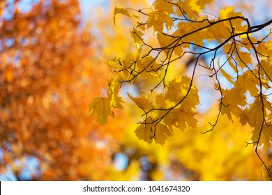 branch of a maple with autumn foliage in the foreground