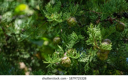 Branch of Mediterranean cypress with round brown cones seeds against blurred green background. Cupressus sempervirens, Italian cypress or pencil pine in Sochi city park Soft selective focus