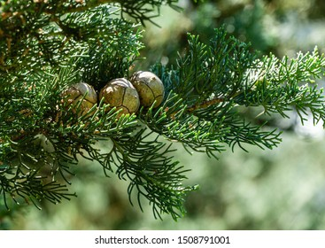 Branch of Mediterranean cypress with round cones seeds against sun on blurred spring green bokeh. Cupressus sempervirens, Italian cypress or pencil pine in city of Tuapse. Soft selective focus