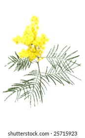 Branch of mimosa, isolated