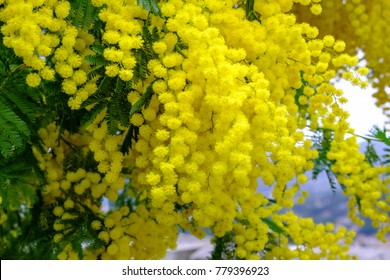Branch of mimosa tree with flowers.