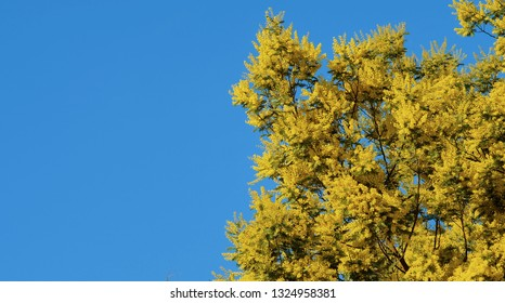 The branch of a mimosa tree with flowers and bees on blue sky and sunny day