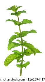 branch of mint on white